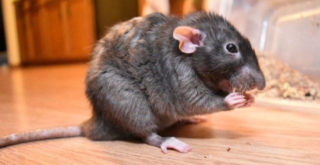 شركة مكافحة الفئران الجميرا
